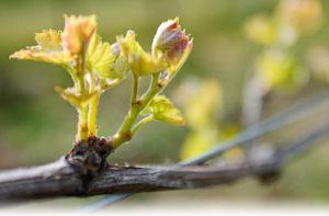 vines bud break