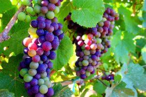 vines veraison