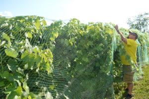 vineyardnetting