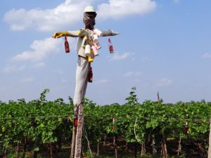 vineyardscarecrow