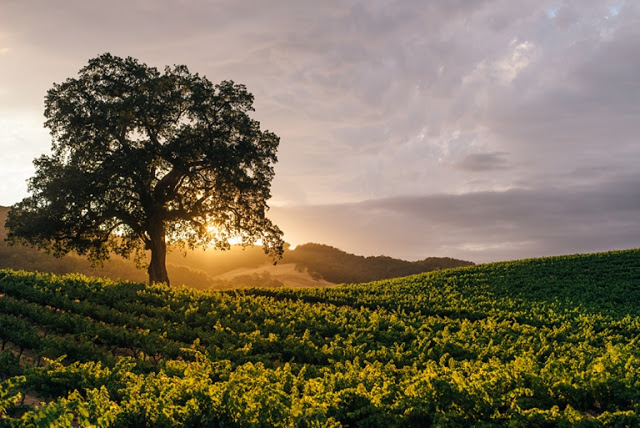 Summer Vineyard at Sunset