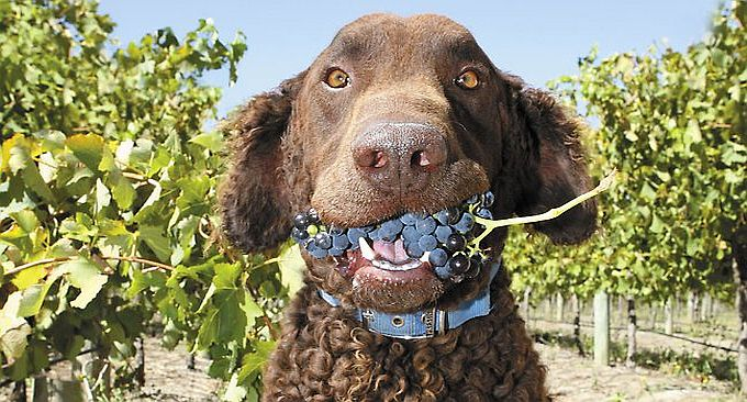 Winery Dog in Vineyards on Dog Friendly Wine Tours
